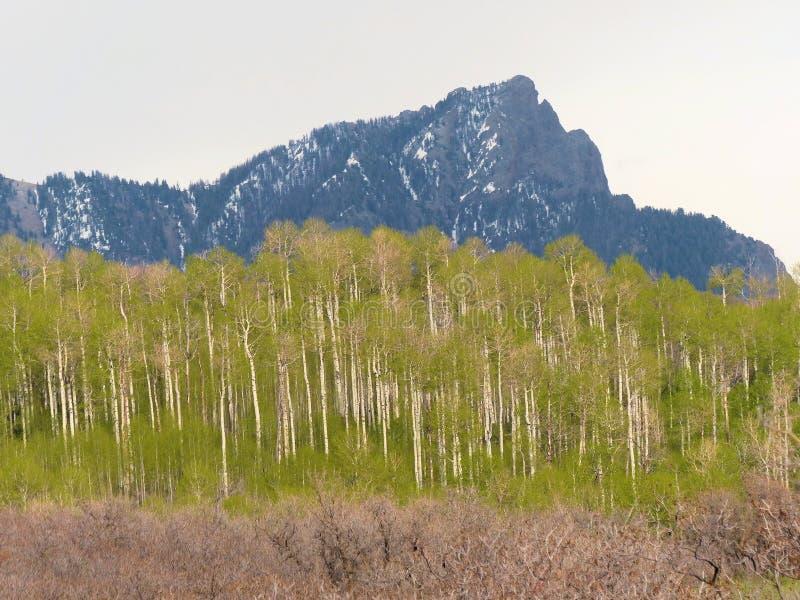 在山下的春天白杨木在橡木上 库存图片