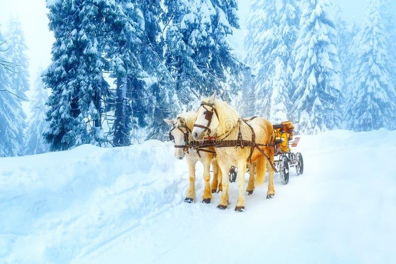 在山冬天风景的两个美丽的白马 库存图片