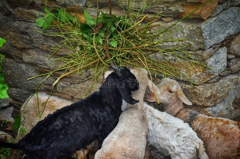 在山区域吃他们的食物的山羊与爱一起 库存图片