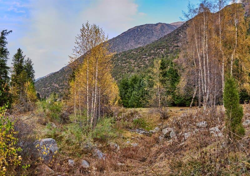 在山坡前面的桦树树丛 免版税库存图片