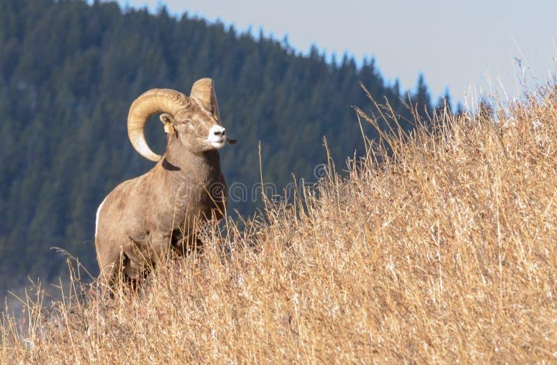 在山坡的大角野绵羊 免版税库存照片