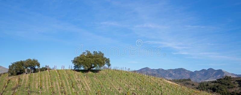 在山坡的孤立橡树在葡萄园里在加利福尼亚中部美国 免版税库存图片
