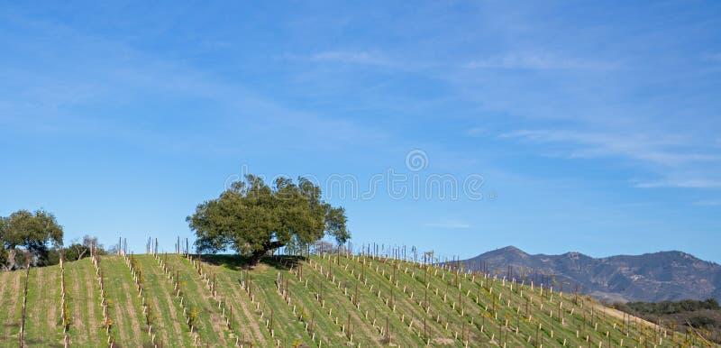 在山坡的孤立橡树在葡萄园里在加利福尼亚中部美国 库存照片