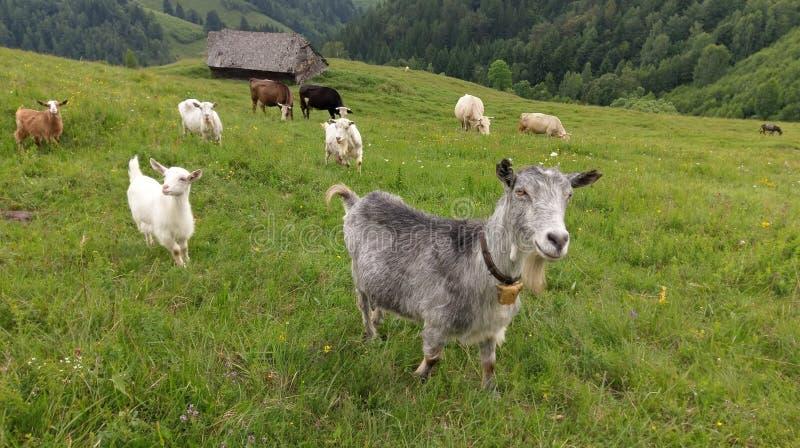 在山坡的山羊在罗马尼亚 免版税库存图片