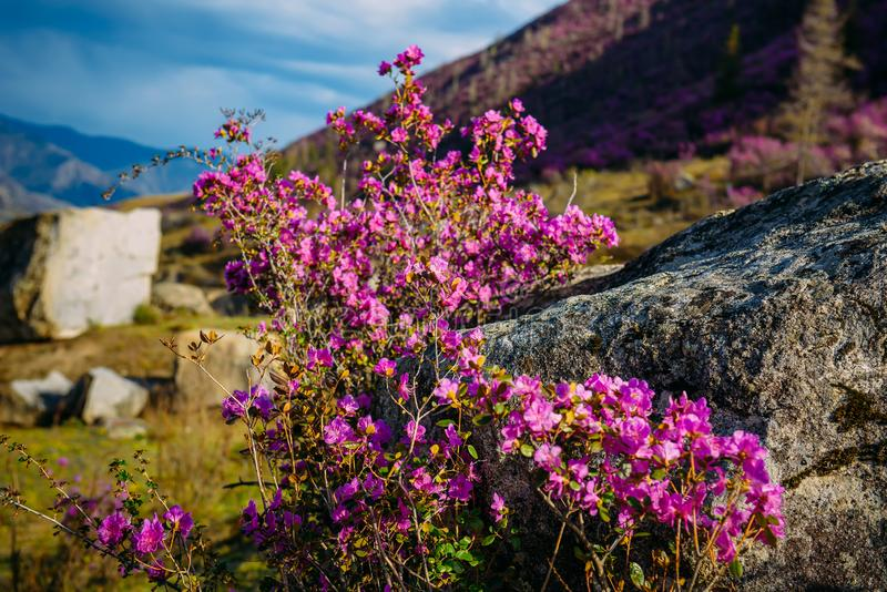 在山坡的惊人开花的桃红色花在早晨太阳,自然惊人的花卉背景  杜鹃花绽放 库存照片