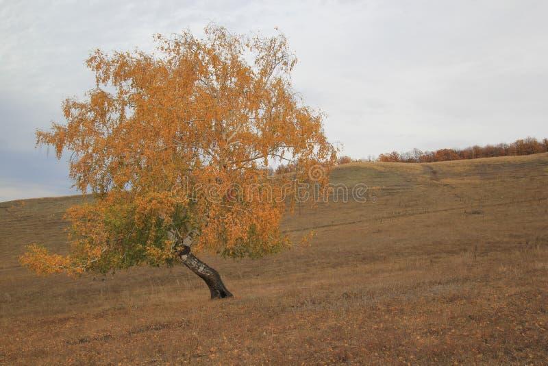在山坡的桦树 免版税图库摄影