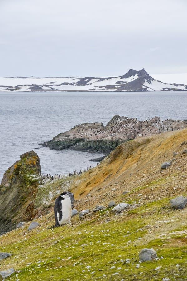 在山坡的Chinstrap企鹅 免版税图库摄影