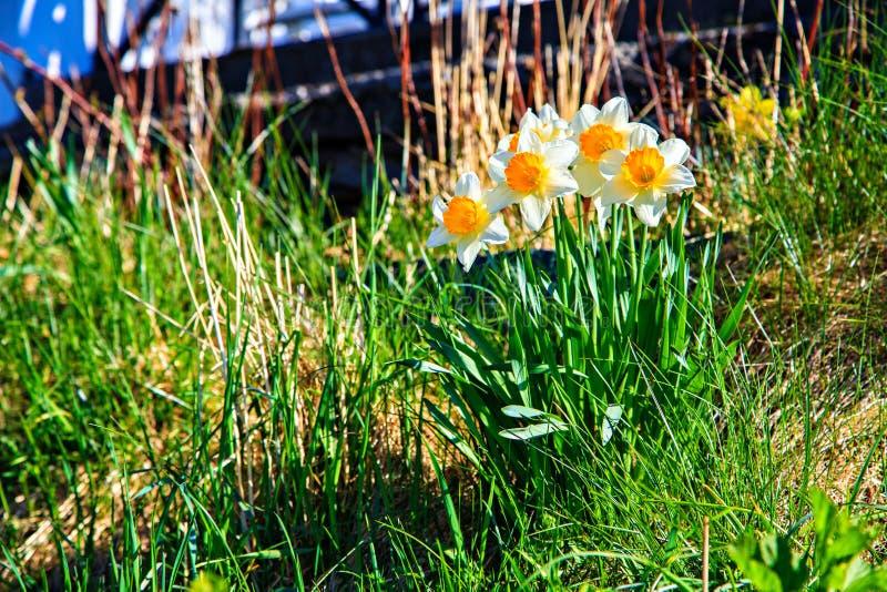 在山坡,挪威的野生黄水仙 库存照片