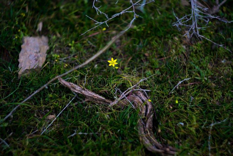在山岩石中的小黄色花 免版税库存照片