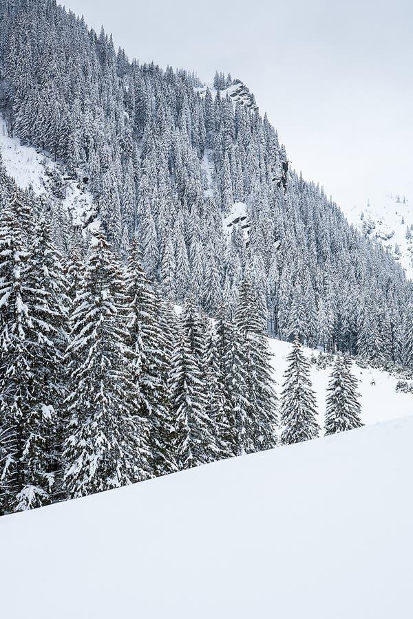 在山峰背景的积雪的冷杉木  库存照片