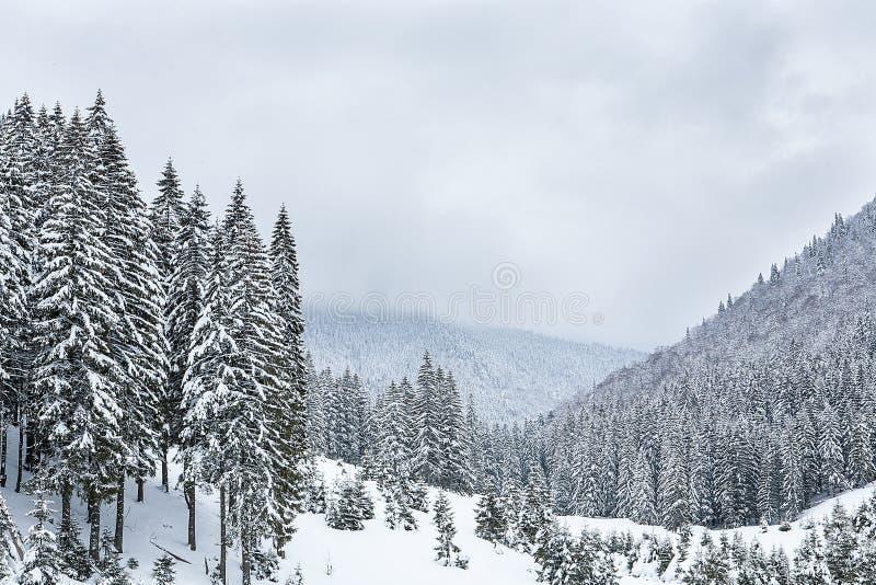 在山峰背景的积雪的冷杉木  库存图片