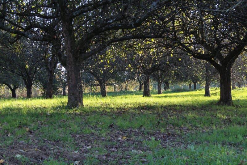 在山庭院的苹果树 图库摄影