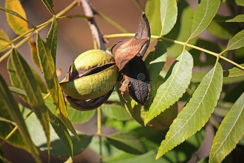 在山核桃树的干和绿色山核桃果果壳 库存照片