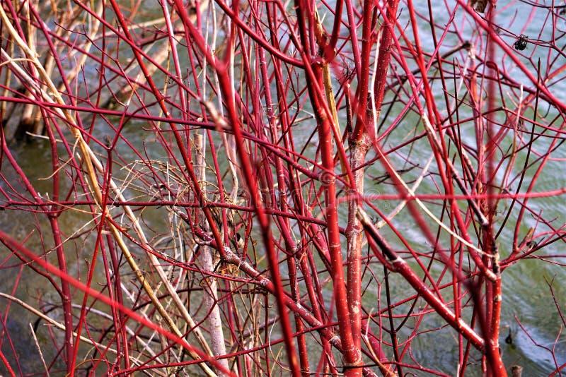 在山楂树池塘的红色枝杈山茱萸在11月下旬 免版税库存照片