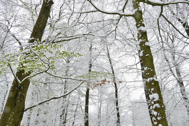 在山毛榉树的积雪的新鲜的叶子在4月 免版税图库摄影