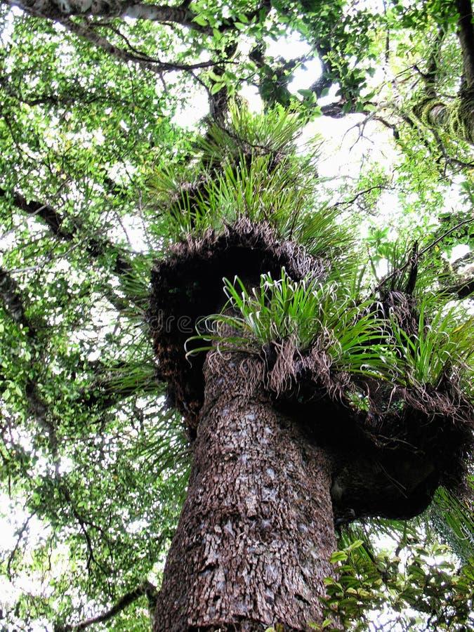 在山毛榉树的许多bromeliads 图库摄影