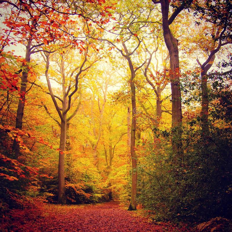 在山毛榉的木材的秋天 免版税库存照片