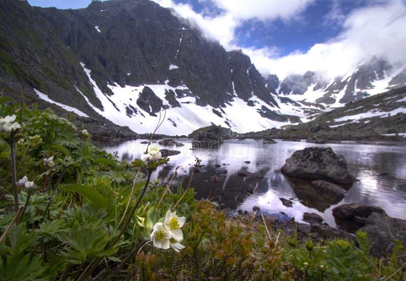 在山湖附近的银莲花属biarmia 库存图片