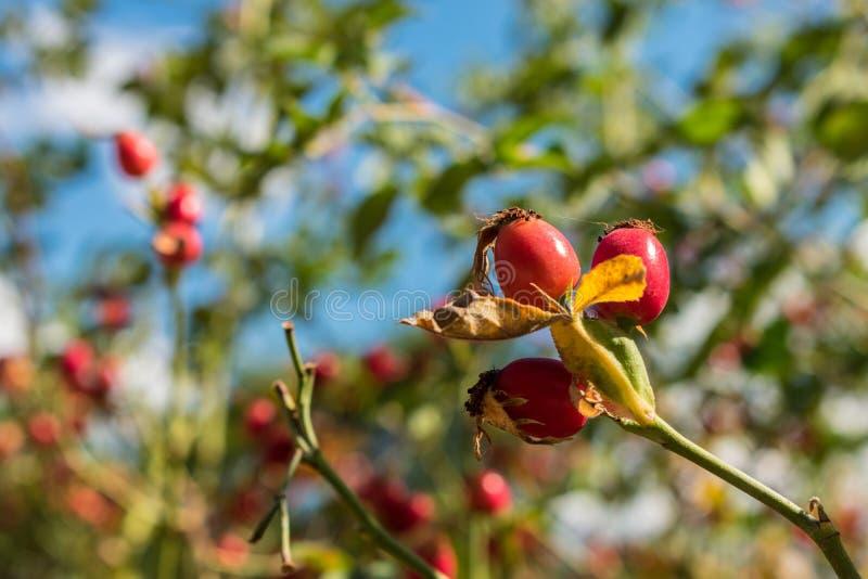在山灌木的莓果在前景森林里 免版税库存照片