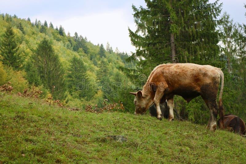 在山的一头小牛 库存图片