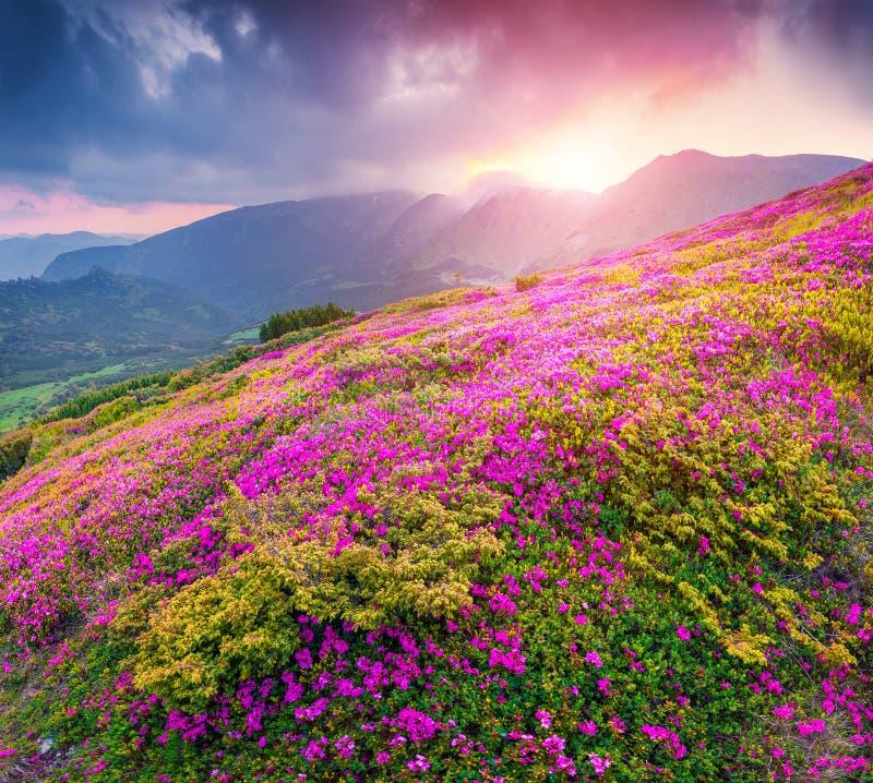 在山的不可思议的桃红色杜鹃花花 免版税库存照片