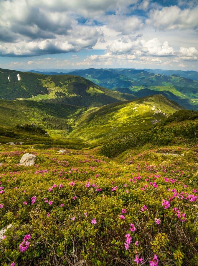 在山的不可思议的桃红色杜鹃花花 免版税库存图片