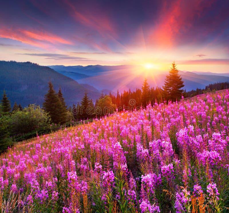 在山的五颜六色的夏天日出与桃红色花 库存照片