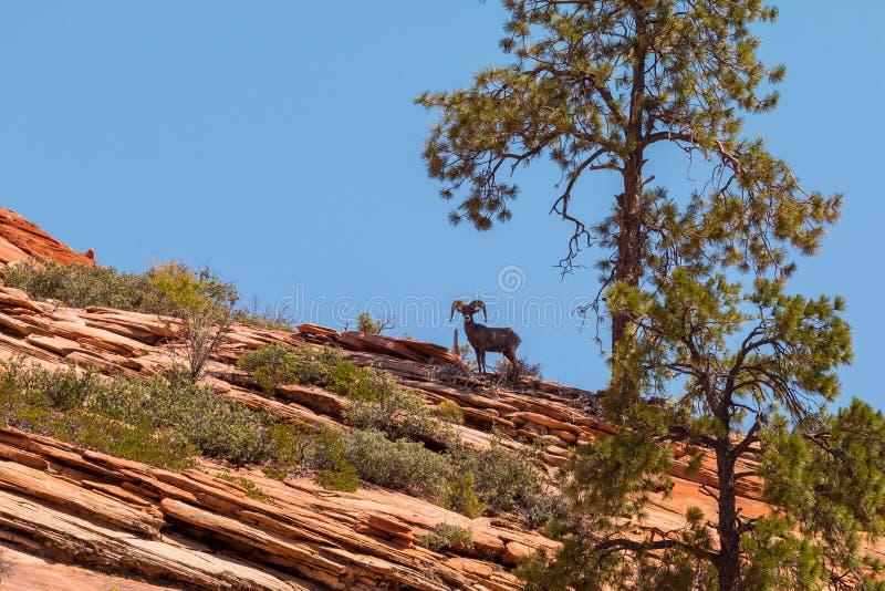 在山的山羊,在树下 锡安国家公园,美国自然风景  免版税库存图片