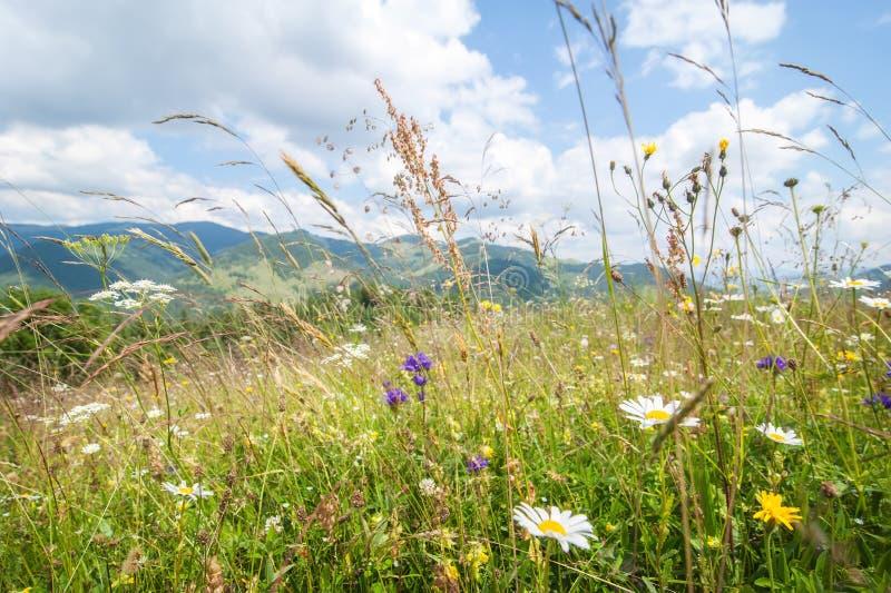 在山的惊人的晴天 有野花的夏天草甸 图库摄影