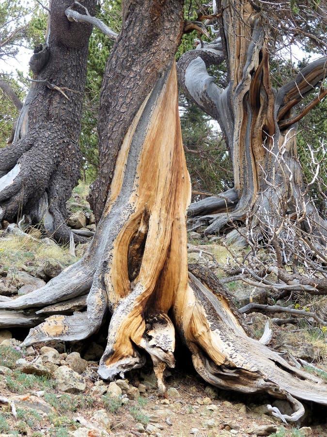 在山的扭转的鸟翼末端树 库存照片