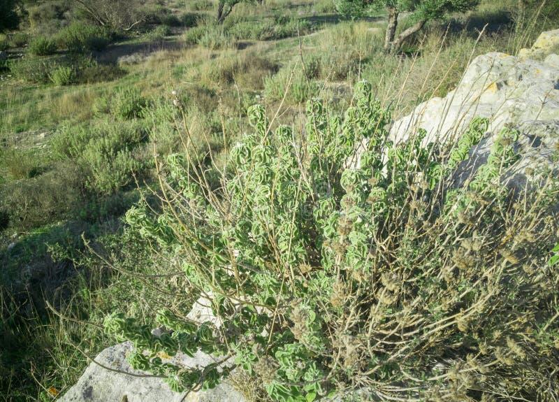 在山的新鲜的未加工的贤哲 狂热的贤人草本在领域增长 希腊草本 免版税图库摄影