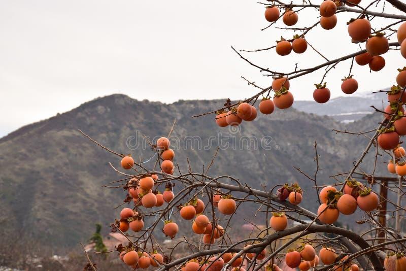 在山的柿树 库存照片