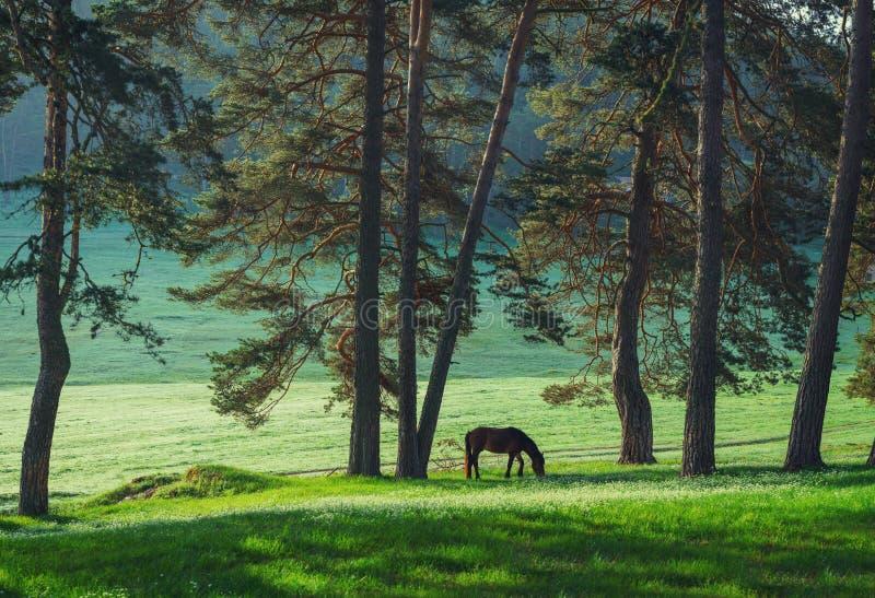 在山的神秘的日出 吃草在蜂蜜酒的野马 库存图片