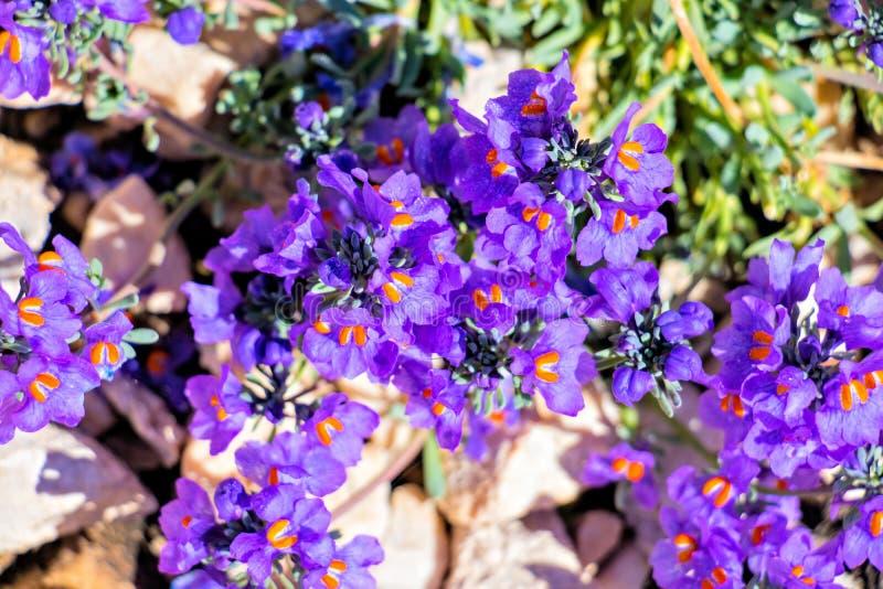 在山的美丽的利纳里亚alpina花 库存照片