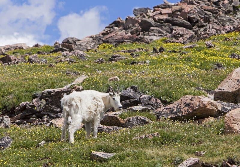 在山的落矶山脉山羊 免版税库存照片