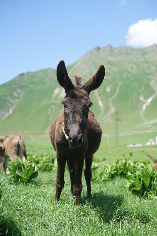 在山的驴 免版税库存照片