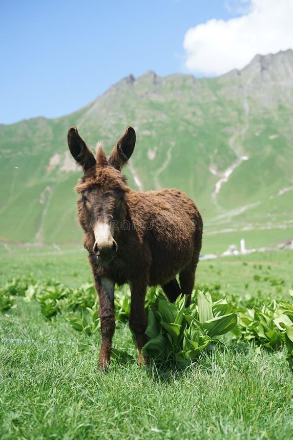 在山的驴 免版税库存图片