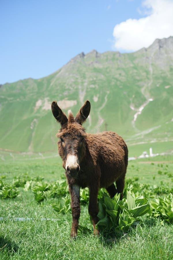 在山的驴 免版税图库摄影