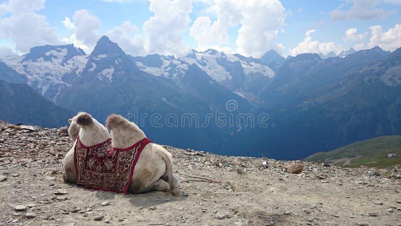 在山的骆驼 免版税库存图片