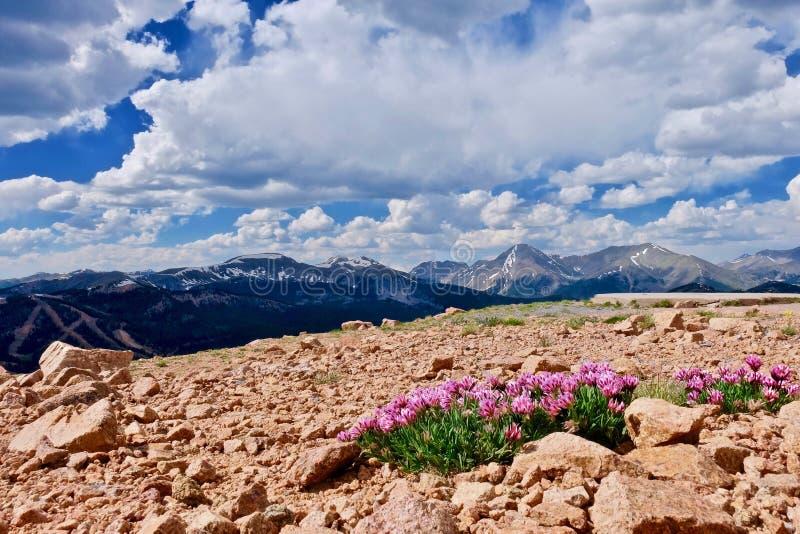 在山的高山桃红色三叶草花 免版税库存照片