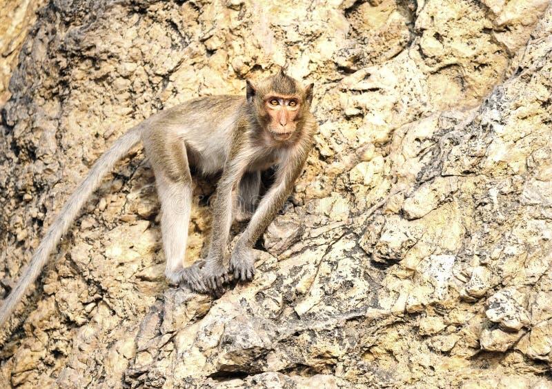 在山的猴子 免版税库存图片