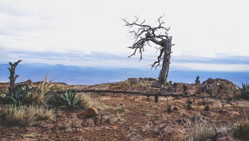 在山的死的树在大弯曲国家公园 免版税库存图片