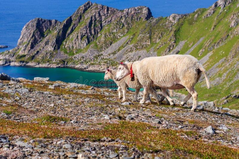 在山的绵羊群和羊羔临近海 挪威,欧洲 免版税图库摄影