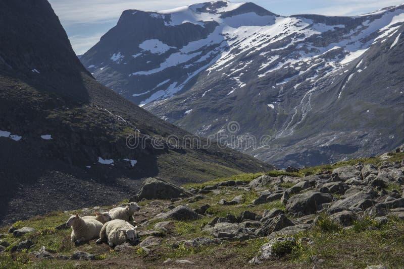 在山的绵羊,挪威 图库摄影