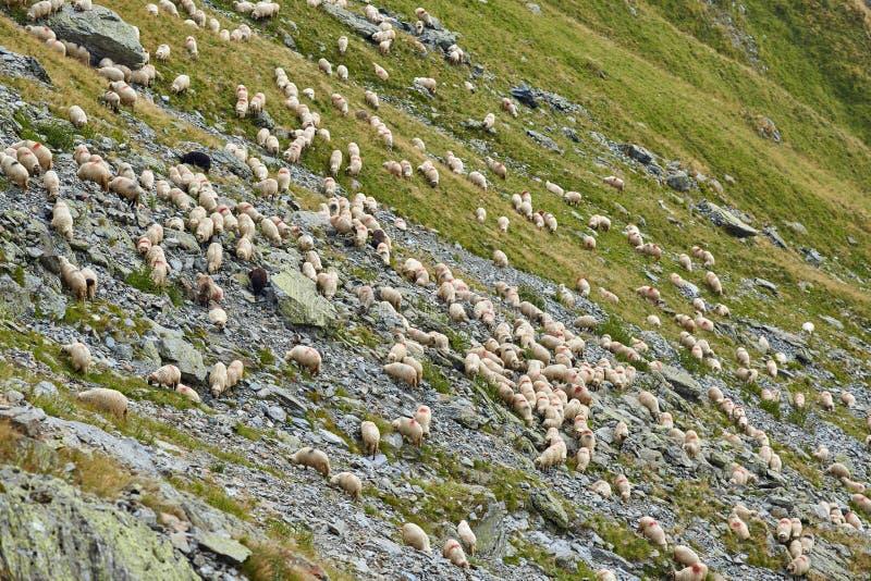 在山的绵羊 库存图片