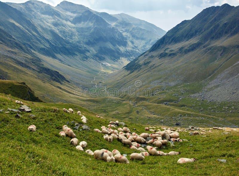 在山的绵羊 图库摄影