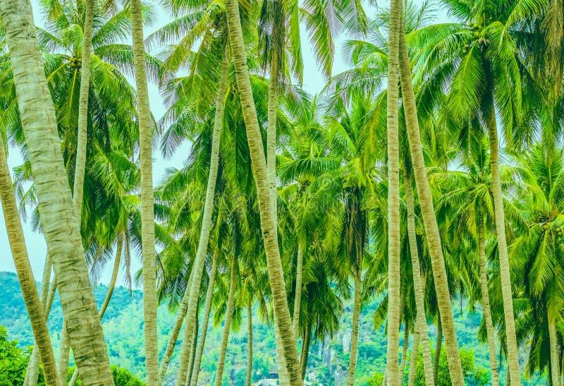 在山背景的许多棕榈树  库存图片