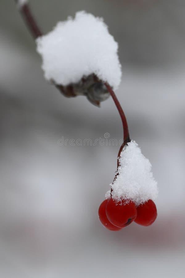 在山脉灰红色莓果的第一雪  选择聚焦 特写镜头 库存图片