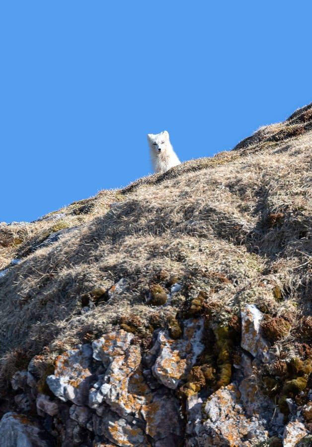 在山腰的北冰的狐狸反对天空蔚蓝背景在斯瓦尔巴特群岛 免版税图库摄影