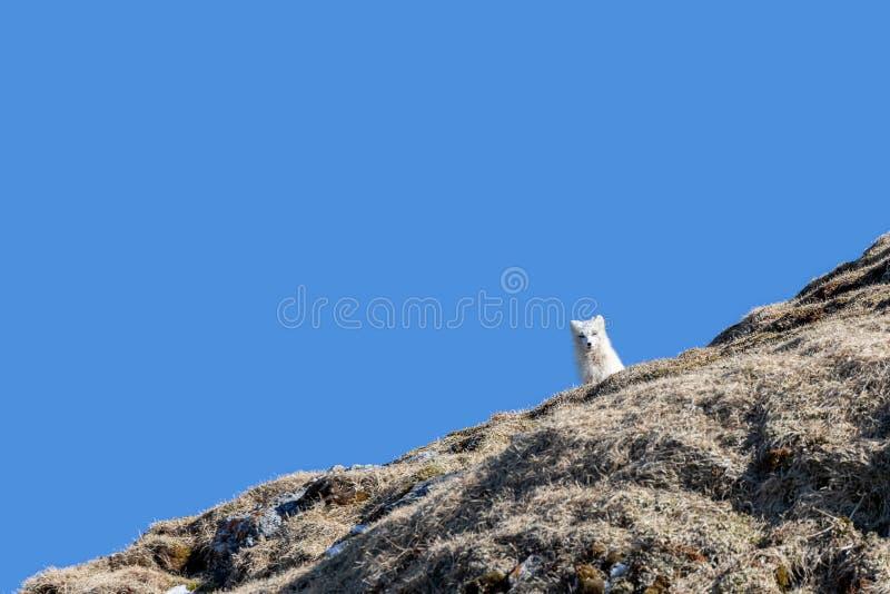 在山腰的北冰的狐狸反对天空蔚蓝背景在斯瓦尔巴特群岛 图库摄影